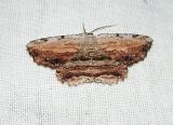 Common Lytrois Moth (Lytrosis unitaria)