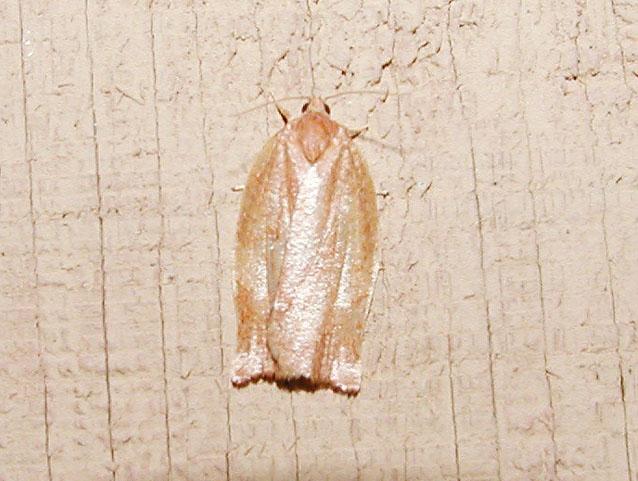 Spotted Fireworm Moth (Choristoneura parallela)