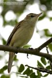 Oriental Reed-Warbler   Scientific name - Acrocephalus orientalis   Habitat - Reeds, tall grasses and shrubs in open areas.