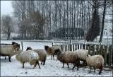 My own flock in Winter
