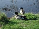 Ducks on the Canal - Sheerness (288)