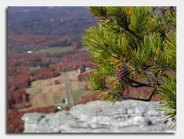 Conifer on the Mountain