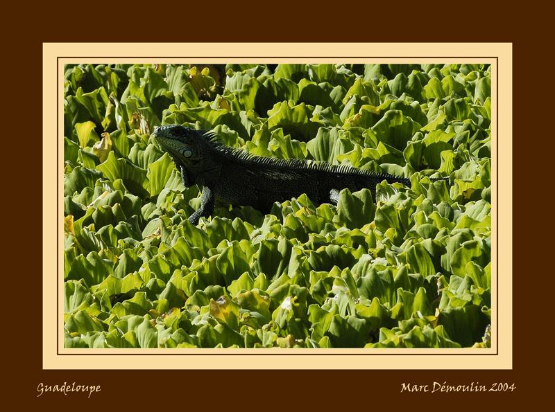 Iguana in salads!