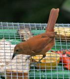 White-lined Tanager,female
