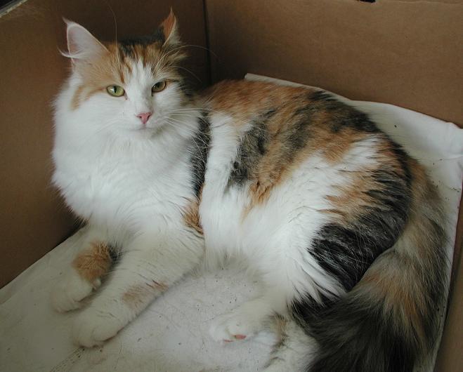 Siberian Cat Siiri