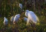 Egrets in the Wild 2912