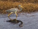 Heron on the Hunt 2996