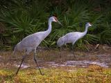 Sandhill Cranes on the Move 2940