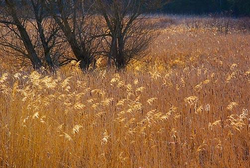 1000 Islands Marsh Grass1