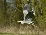 Grey Heron, paranoid