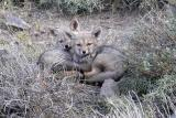 Two grey fox kits