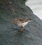 Purple Sandpiper, Rye, NH, December
