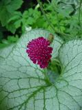 knautia flower  brunnera leaf.jpg