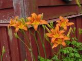 daylily barn3.jpg