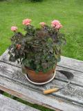 geranium pot.jpg