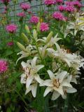 lily  monarda.jpg
