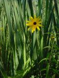 rudbeckia  cattails.jpg