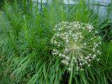 allium seed pods2.jpg