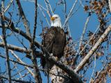 Bald Eagle 0105-4j  Naches River