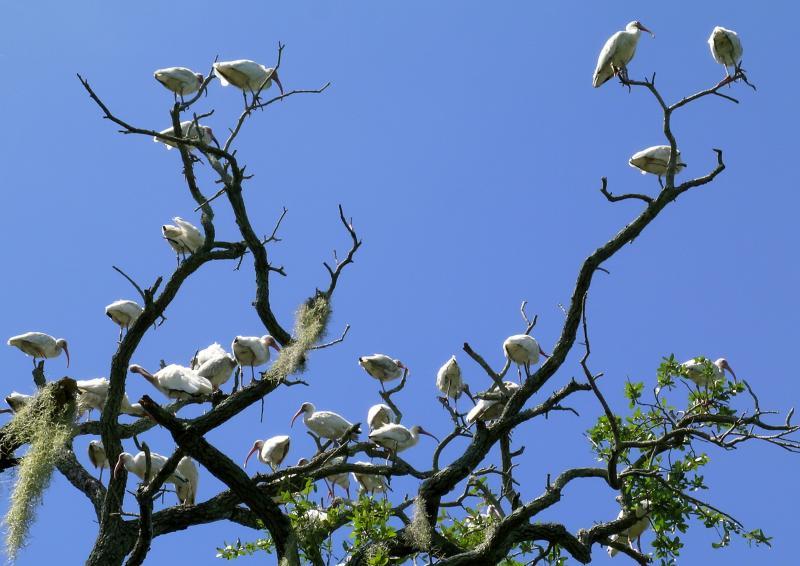 White Ibis, Hilton Head