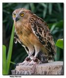 Malay Fish Owl
