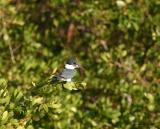 Kingfisher 123.jpg