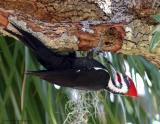 Pileated Woodpecker2.jpg