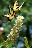 Butterflies  8/2/03
