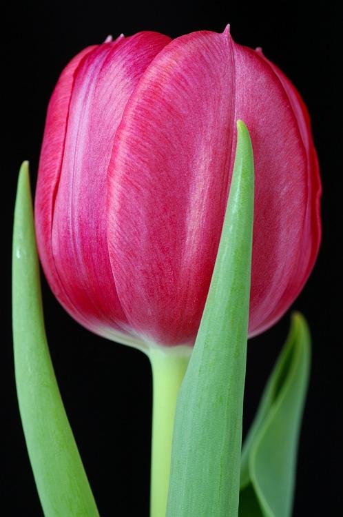 Single pink tulip.jpg
