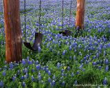 Swinging in the Bluebonnets