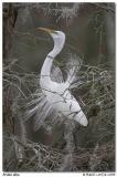 Grande aigrette / Great Egret