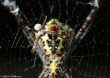 Male of Zebra-Spider