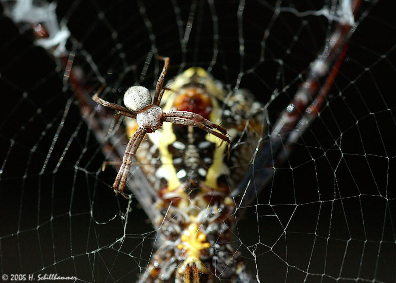 Male of Zebra-Spider