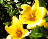 Bright Yellow Tulips
