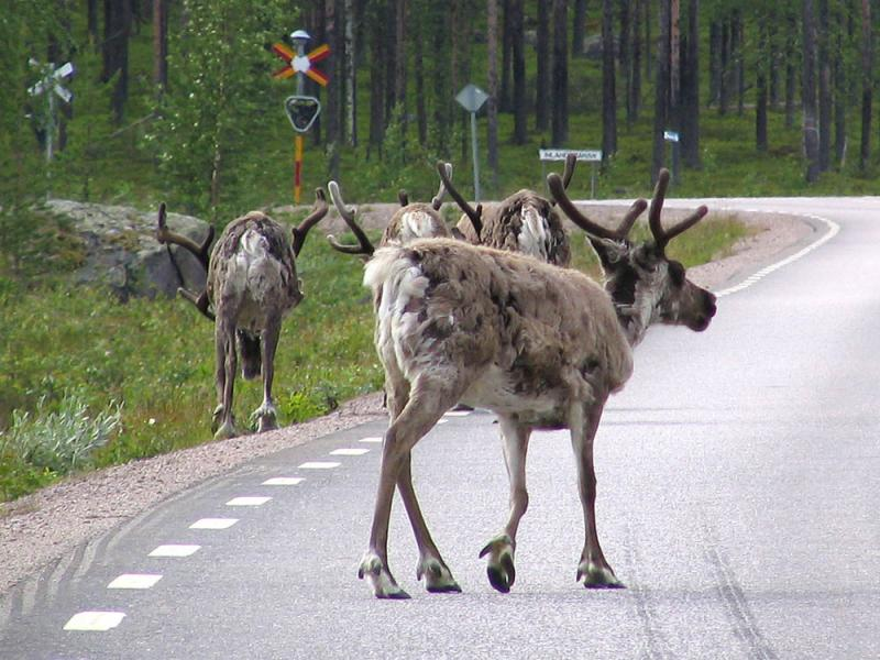 A reindeer somewhere in Sweden