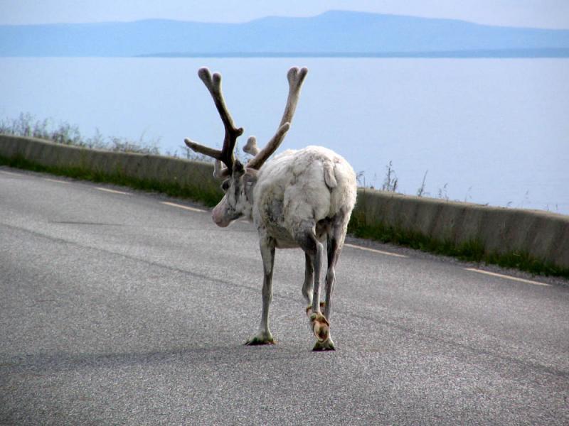 Reindeer by Porsangen fjord
