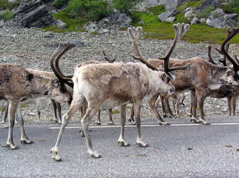The reindeer herd