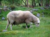 A pasturing sheep