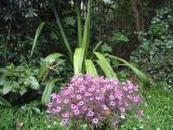 Geranium maderense and Doryanthes??