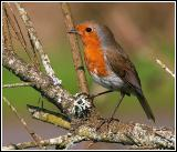 Robin with foot up