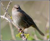 Hedge sparrow singing