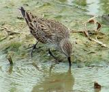 Sandpipers/Willets/Plovers
