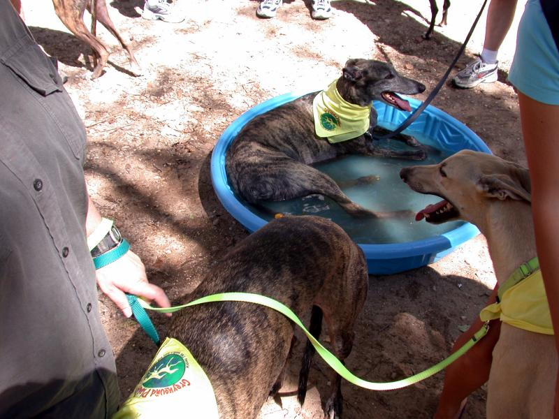 Greyhound relaxing in the pool