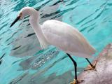 Snowy Egret (local bird in park) -  Taken at Seaworld, San Diego, 2002
