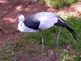 Wattle Stork, sorry for poor quality