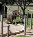 Asian Elephant - San Diego Wild Animal Park