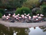 Flamingos - San Diego Wild Animal Park