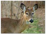 White-tailed Doe