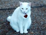 Jeff & Brenda Kokdemir's cat Shay-Shay