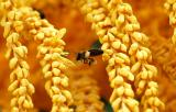 Bee and Queen Palm seed blossoms stock photo